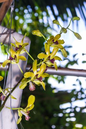 vanda: yellow vanda orchid flower