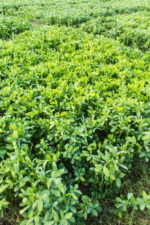 planta de frijol: planta de frijol Foto de archivo