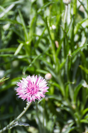 centaurea: Pink Centaurea cyanus flower Stock Photo