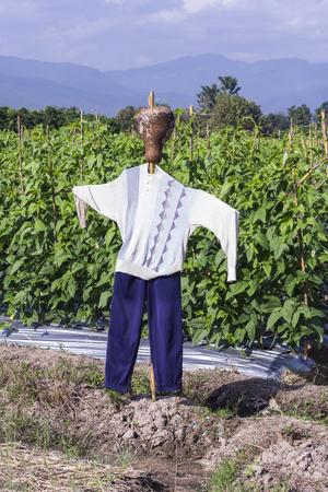 long bean: scarecrow with Yard long bean farm