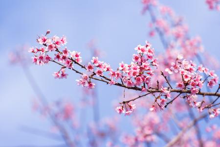 fleur de cerisier: Fleurs sauvages de l'Himalaya cerise
