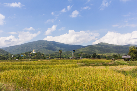 veneration: golden rice field with Thai temple on the mountain