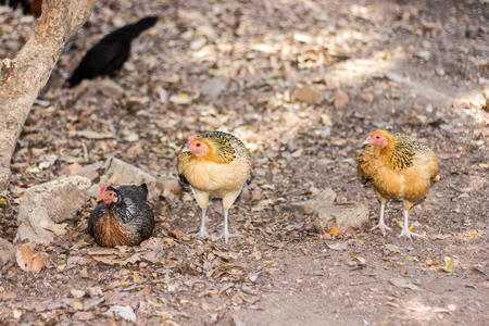 incubate: Thai Bantam Chicken, hen