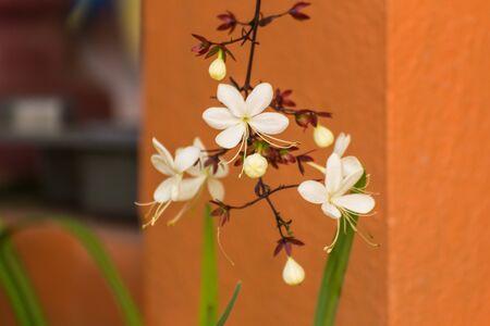 nodding: Nodding Clerodendron flower