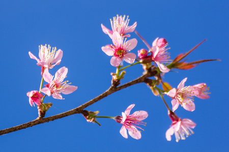 winter flower: Himalayan Cherry flower with blue sky Stock Photo