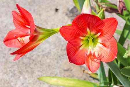 multiple: Red Multiple hippeastrum flowers