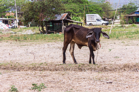 penned: Young cow, Thai calf