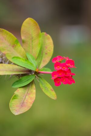 flower thorns: Red Euphorbia milli flower, Crown of thorns Stock Photo