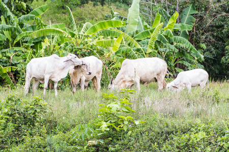 isaan: thai white cows in field