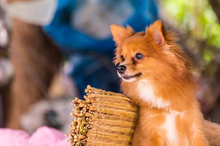 pomeranian: Cute Pomeranian dog, pet
