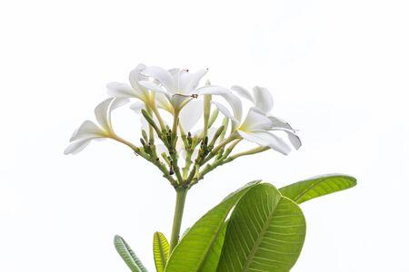 subtropical: white Frangipani flower,Plumeria isolated on white Stock Photo