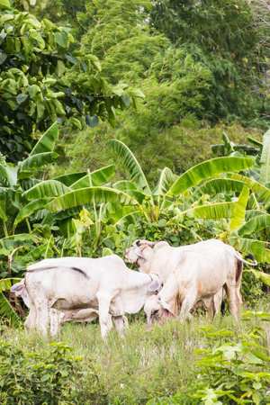 thai white cows in field