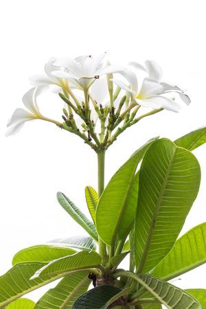 tahitian: white Frangipani flower,Plumeria isolated on white Stock Photo