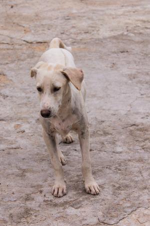 powerless: thai white stray dog