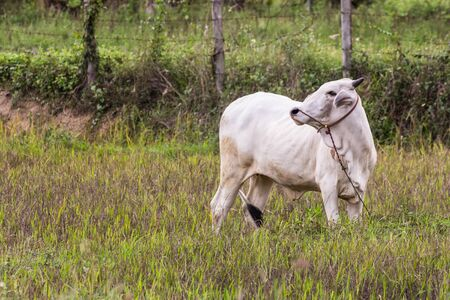 mammal: Thai white cow in field, mammal Stock Photo