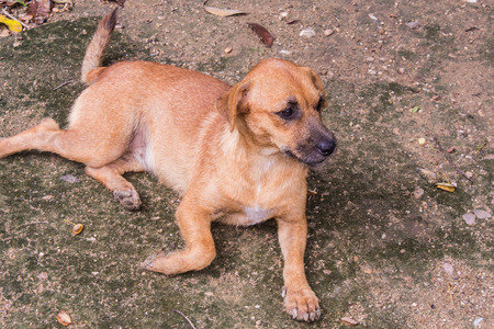 homeless Thai brown stray dog Stock Photo