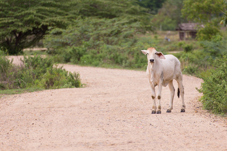 penned: Young cow, Thai calf on road countryside