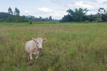 young cow: Young cow, Thai calf in field