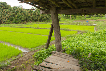 lanscape: Green Rice seedlings in rice field, lanscape