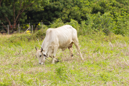 penned: Thai cow in field