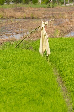 framer: scarecrow in green rice field