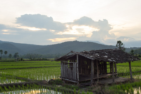 hua: old cottage in green rice field