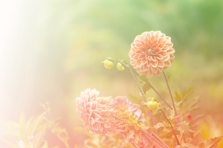 hotbed: Pink Chrysanthemum flower with bokeh