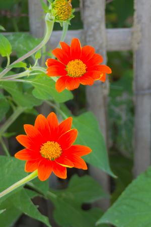 gerbera daisy: Gerbera Daisy Flower Stock Photo