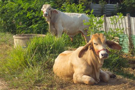 thai white cow, animal mammal Stock Photo