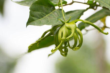 odorous: Ylang-ylang flower, Perfume Tree, ka dang nga