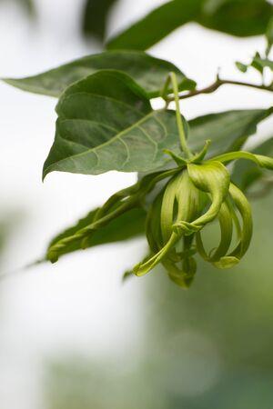 perfumed: Ylang-ylang flower, Perfume Tree, ka dang nga