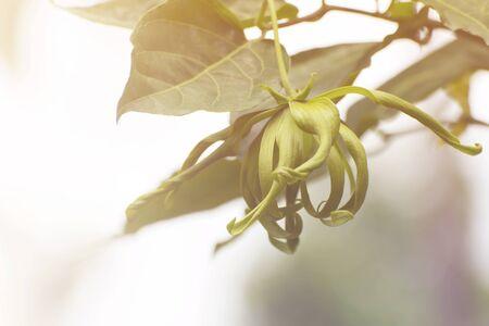 annonaceae: Ylang-ylang flower, Perfume Tree, ka dang nga