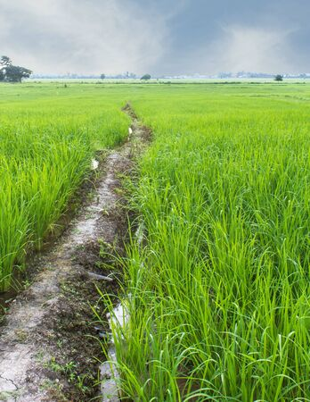 Green Rice Field with sky in Thailand