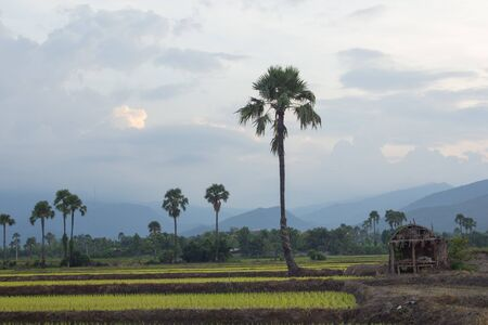 sugar palm: Sunset Green rice fieldwith palm sugar in thailand Stock Photo
