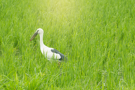 oscitans: Open-billed stork in rice field