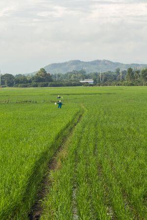 espantapajaros: espantapájaros en el campo de arroz verde Tailandia