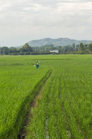 scarecrow in green rice field Thailand