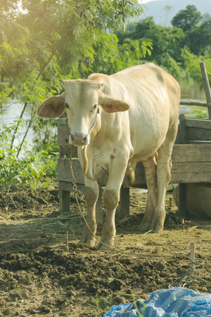 thai white cow, animal mammal Stock Photo