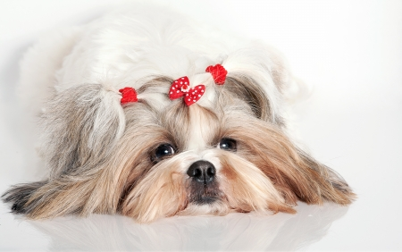 Portrait of a white fluffy dog of the Shih-tzu photo