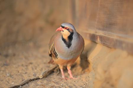 kuropatwa: Chukar partridge Zdjęcie Seryjne