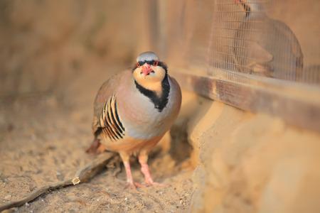 kuropatwa: Chukar Partridge (Alectoris chukar)