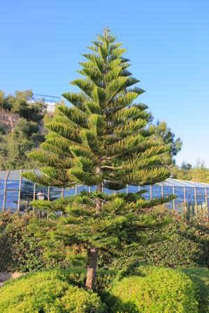 conifer: Conifer tree Stock Photo
