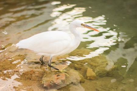 White egret, bubulcus ibis