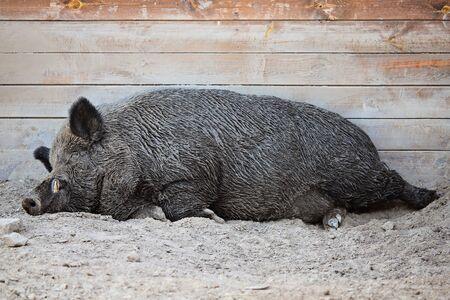Big dark boar sleeps in the sand at the zoo