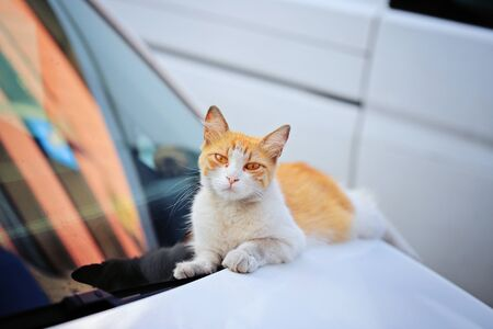 Funny redhead cat on the white car