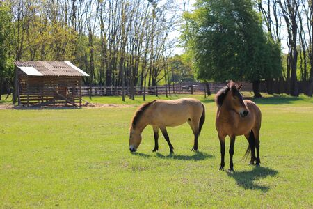 Couple horses graze on the green field