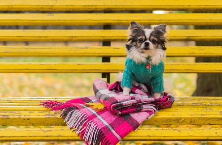 longhair: Longhair Chihuahua dog sitting on the bench