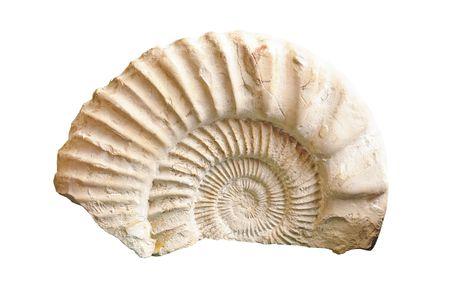 epoch: Ammonite fossili del periodo giurassico isolato su bianco Archivio Fotografico