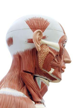 tendones: Anatom�a humana - estructura de los m�sculos y de los tendones principales