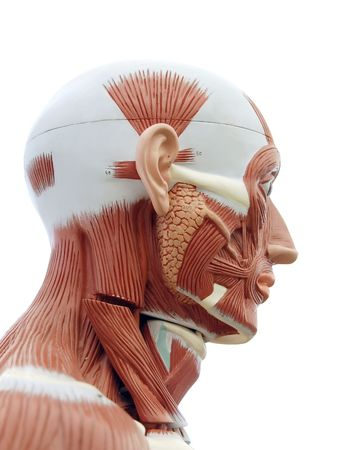 tendons: Human anatomy - structure of head muscles and tendons